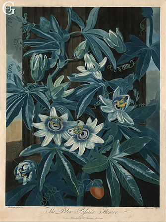 Caldwell, The Blue Passion Flower